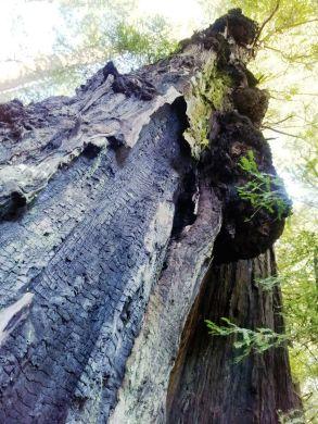 Redwood Vrikshasana